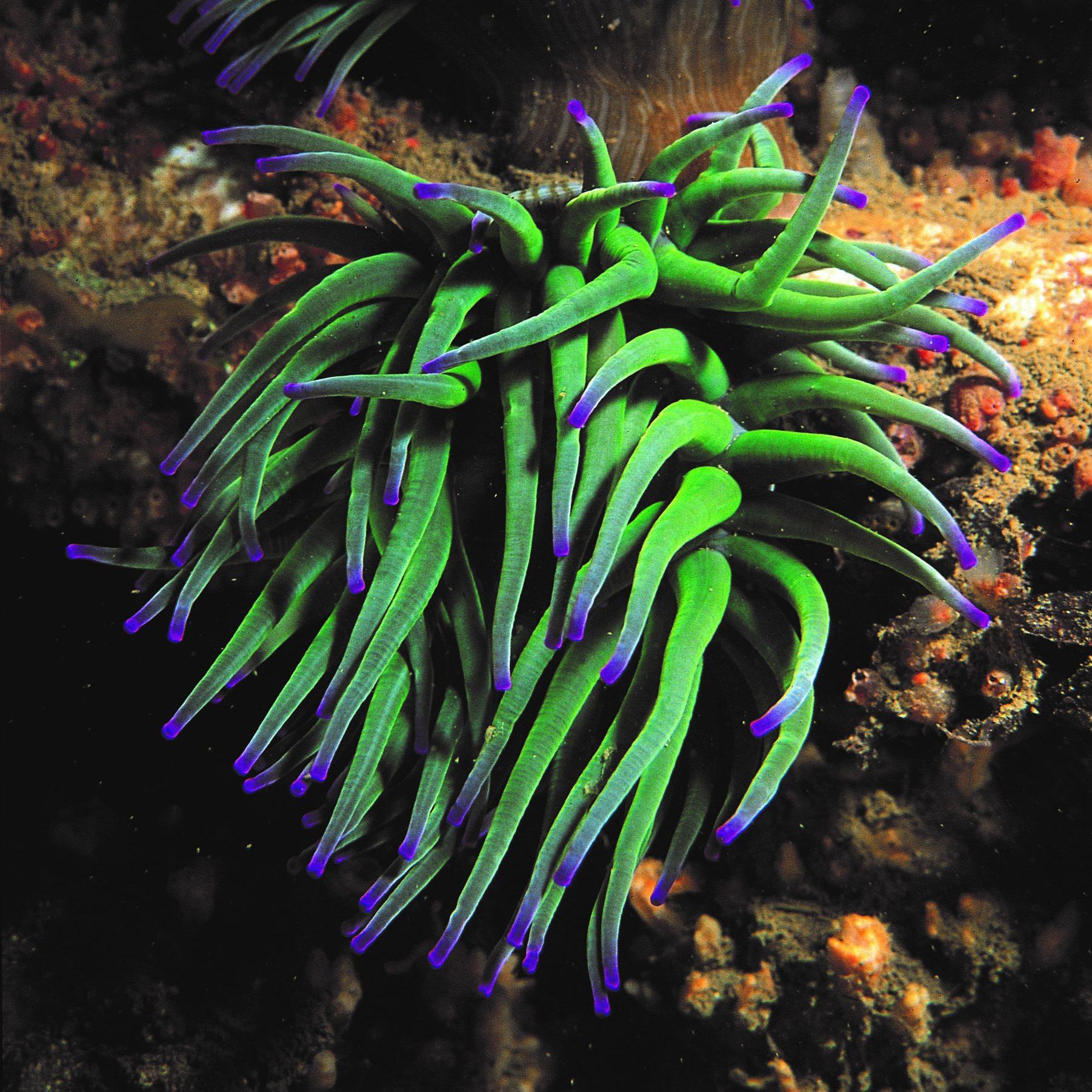 Snakelocks anemone c. Paul Naylor