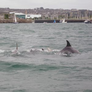 Bottlenose Dolphins in Plymouth Sound