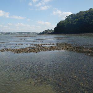 Intertidal biogenic reef on the Tamar