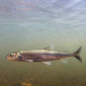 Smelt, Tamar River - Jack Perks © Natural England