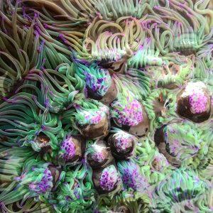 Snakelocks anemones © Emmie Readman